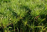 POND PLANT PAPYRUS, DWARF GIANT