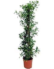 jazmín estrella 70 a 110 cm disponible con portamacetas | Trachelospermum Jasminoides
