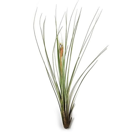 12 Pack of Tillandsia Juncea Air Plants - Wholesale Air Plants - 30 Day Air Plant Guarantee - Bulk - Free Air Plant Care Ebook By Jody James