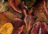 TERMINALIA CATAPPA , 20 LEAVES Indian Almond Bettas - ALMENDRA