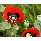 Red Opium Poppy (Papaver somniferum) 5000 Seeds