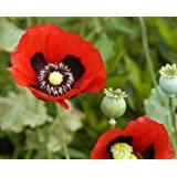 Red Opium Poppy (Papaver somniferum) 5000 Seeds