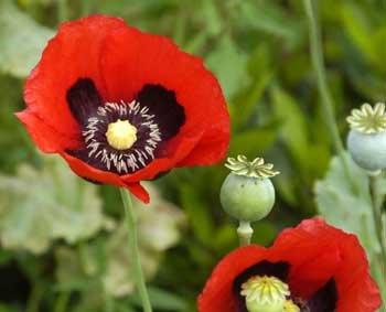 Red opium poppy papaver somniferum 5000 seeds amazon patio red opium poppy papaver somniferum 5000 seeds mightylinksfo