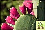 Liveseeds - Rare- Red Prickly Pear-Opuntia Macrorhiza-Opuntia ficus-indica 10 Finest Seeds