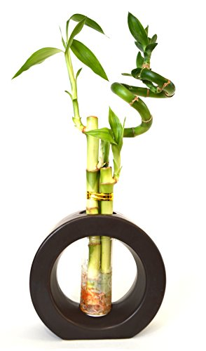 9GreenBox - 3 Style Spiral Lucky Bamboo with Hollow Brown Ceramic Vase by 9GreenBox.com