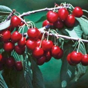 20 Stratified Van Sweet Cherry Seeds - My Secret Gardens