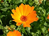 500 Seeds of Cosmos sulphureus, Cosmos Sulphur Bright Lights Mix