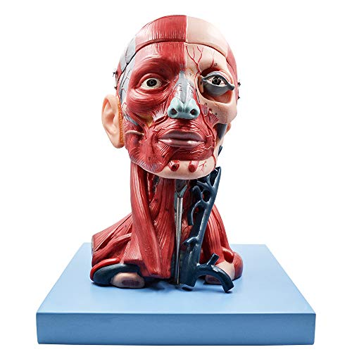 Scientific Human Brain Head Model, Anatomy Model Features Half Head, Muscular Anatomy, Veins, Arteries, Exposed Sinuses, Brain, and Spinal Anatomy for -