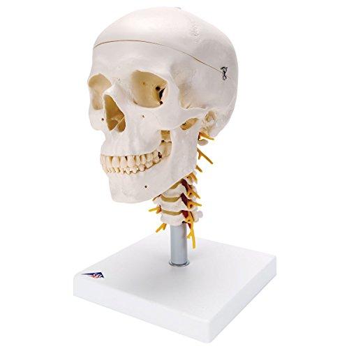 3B Scientific Menschliche Anatomie - A20/1 Klassik-Schädel auf ...