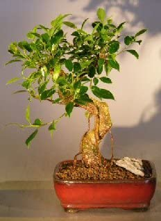 Amazon Com Bonsai Boy S Ficus Retusa Bonsai Tree Medium Curved Trunk Style Home Kitchen