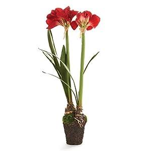 Napa Home & Garden Floral Drop-ins, Amaryllis 11
