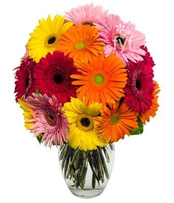 From You Flowers - Stunning Gerbera Daisies - 15 Stems (Free Vase Included)