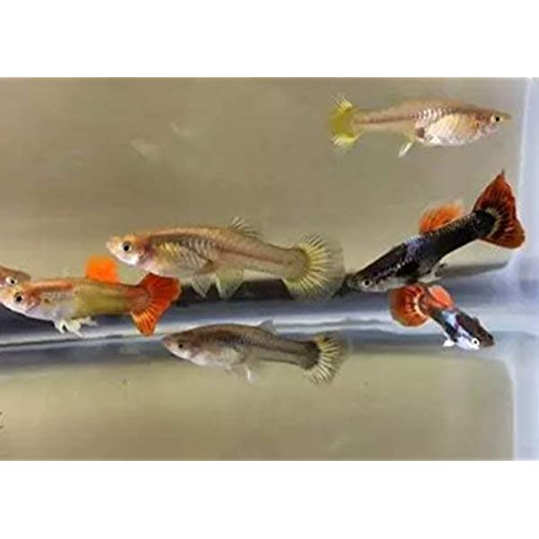 Amazon Com Dailyessential Live Guppies Tropical Pet Fish 2 Assorted Males Pet Supplies