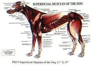 Petmassage Superficial Muscles Of The Dog Chart