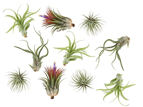 Costa Farms, Premium Live Indoor Air Plants, Assorted Tillandsia, 10-Pack, Shipped Fresh From Our Farm, Excellent Gift