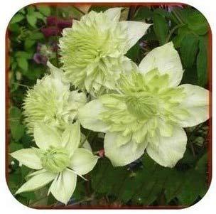 de Flores Color Hybridas Piezas Fash Lady 20 clem Mezcla Tide 16 de Clematis Bq8na