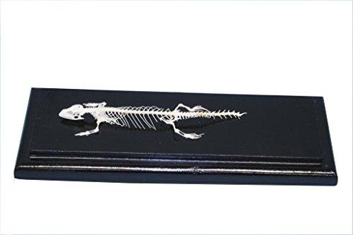 C & A Scientific - Premiere 51007 Real Lizard Skeleton]()