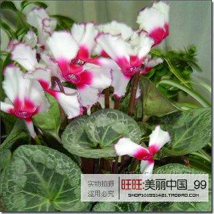 20seeds / bag 20colors Für Ranunculus-Blumensamen persischer Buttercup Seed Pot Blume Pflanze Garten Bonsai Diy Home Anlage Chose