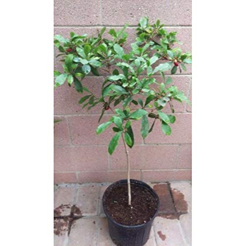 Miracle Berry Fruit Trees 30 Inch Height in 3 Gallon Pot #BS1 by iniloplant (Image #1)