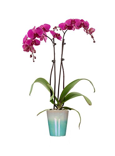 Just Add Ice 304209 Classic Blue Watercolor Phalaenopsis Orchid, (Just Add Ice)