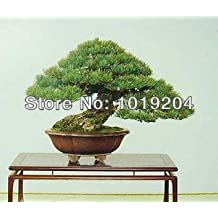 Japanese white pine bonsai plant seeds, 10PC a pack, fun pines