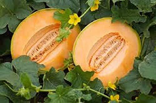 ASTONISH Seeds Package: Delicious 51 Cantaloupe Melon 15 Seeds Potassium and Vitamin C & Beta Carotene