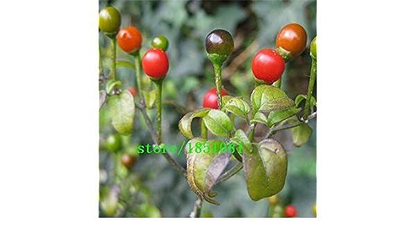 ASTONISH SEEDS: : Promoción grande, 100 semillas de pimienta ...