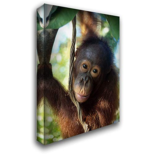 Orangutan Juvenile, Tanjung Puting National Park, Borneo 28x40 Gallery Wrapped Stretched Canvas Art by Wothe, Konrad