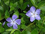 Classy Groundcovers, Vinca Major 'Green' (25 Pots, 3 1/2 inches Square)