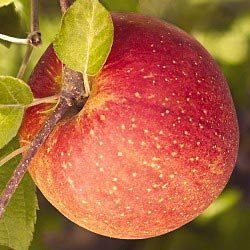 20 Red Fuji Apple Tree Malus Domestica Fruit Tree Seeds SVI