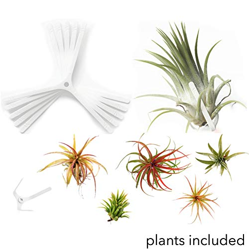 ArtAK 10 Pcs Wall Planter Kit | 5 Hanging Air Plant Holder Air Knots and 5 Large Tillandsia Live Epiphyte Houseplants | Home Decor Accents | Vertical Garden Terrarium | Indoors and Outdoors White
