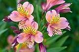 100 Seeds Alstroemeria seeds Peruvian Lily Alstroemeria Inca Bandit Princess lily 11#32797312637ST