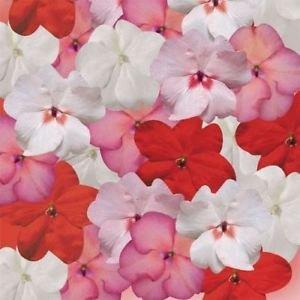 Salsa Flower - Fresh 100 seeds - Impatiens Tempo Salsa Mix Flower Seeds