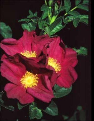 Fast, Hardy, Fragrant, Edible Shrub Seeds Red Rugosa Rose Rosa rugosa rubra