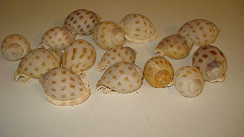 (Style #1A) Over 4oz (1/4 Pound) Bag Conch Shells Medium & Large From the Beaches of Cozumel Mexico