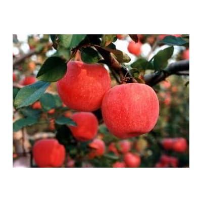 SD0502 Fuji Apple Seeds, Rare Japanese Red Apple Seeds, Malus Domestica Fruit Seeds (25 Seeds) : Fruit Plants : Garden & Outdoor