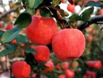 SD0502 Fuji Apple Seeds, Rare Japanese Red Apple Seeds, M...