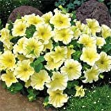 Outsidepride Petunia Grandiflora Yellow - 250 Seeds