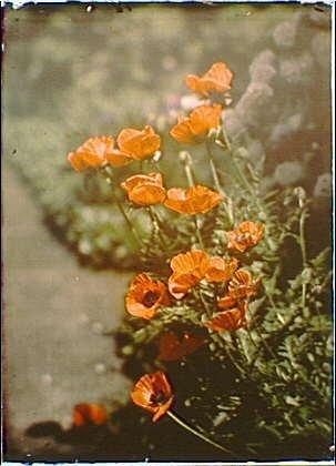 California Poppy Photo - 4