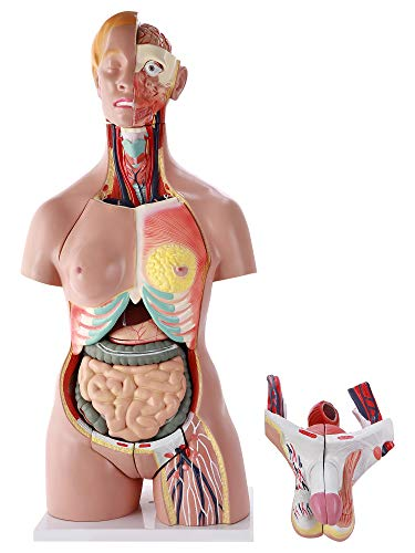 """Medical Anatomy Torso Model, Life Size Anatomical Unisex Human Body with Removable Heart Brain Organs, 33.5"""" (28 Parts)"""