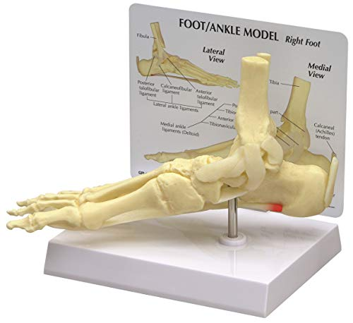 Foot and Ankle Bone Joint Anatomical Model