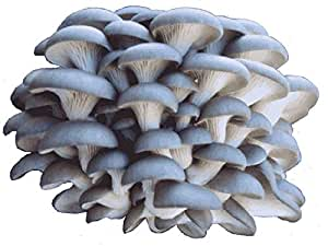 Amazon.com : Organic Blue Oyster Mushroom Growing Kit