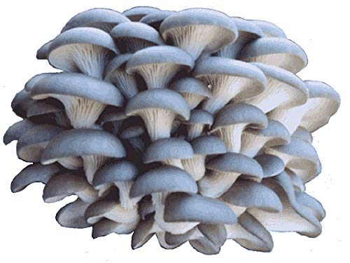 (Organic Blue Oyster Mushroom Growing)