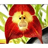 Orchid Monkey Face Red - Affengesicht Orchidee rot - 20 Samen