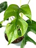 Rhaphidophora tetrasperma 'Ginny' - Mini Monstera