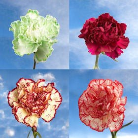 GlobalRose 400 Fresh Cut Novelty Color Carnations - Fresh Flowers Wholesale Express Delivery by GlobalRose (Image #2)