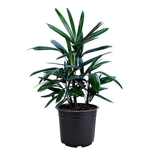 AMERICAN PLANT EXCHANGE Lady Palm Rhapis Excelsa Indoor/Outdoor Air Purifier Live Plant, 6