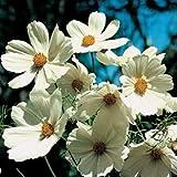FLOWER COSMOS BIPINNATUS PURITY 450 FLOWER SEEDS