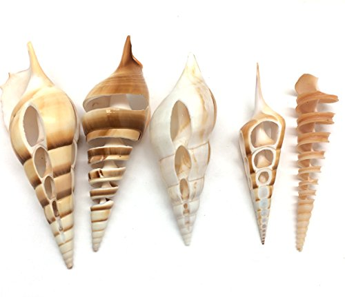 (PEPPERLONELY 5 PC Natural Mixed Cut Tibia Shell Turretellas Shell, 3 Inch ~ 5 Inch)