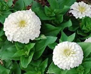 Zinnia Seeds Elegans Polar Bear Flower Seeds